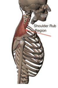Trapezius Muscle 2