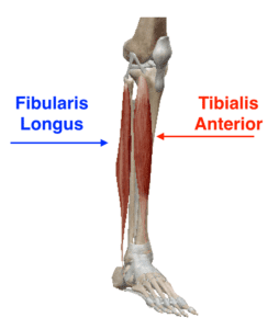 Tib Anterior and Fibularis Longus